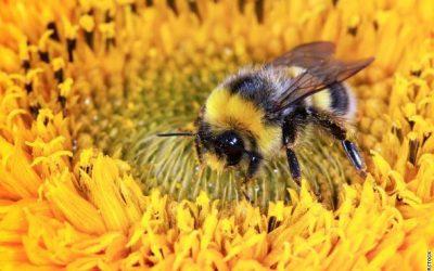 Les abeilles partagent le ciel avec le Pipistrel – Bonne journée mondiale de l'abeille !